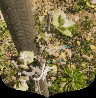 Domaine Lombard vignes syrah drôme